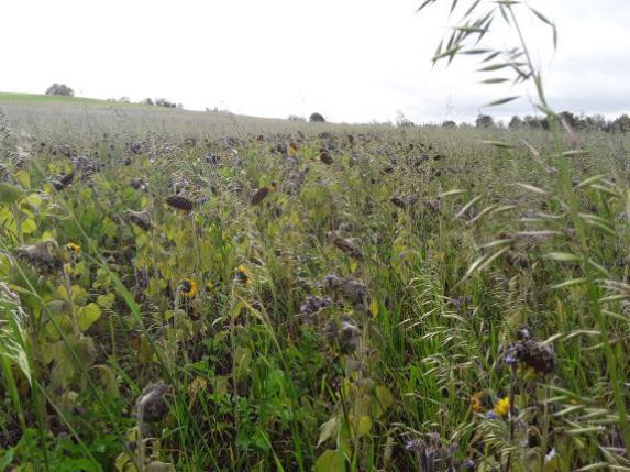 Bout de champ : couverts végétaux et travail du sol