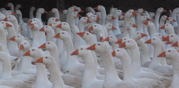 Influenza aviaire : passage en risque élevé sur tout le territoire